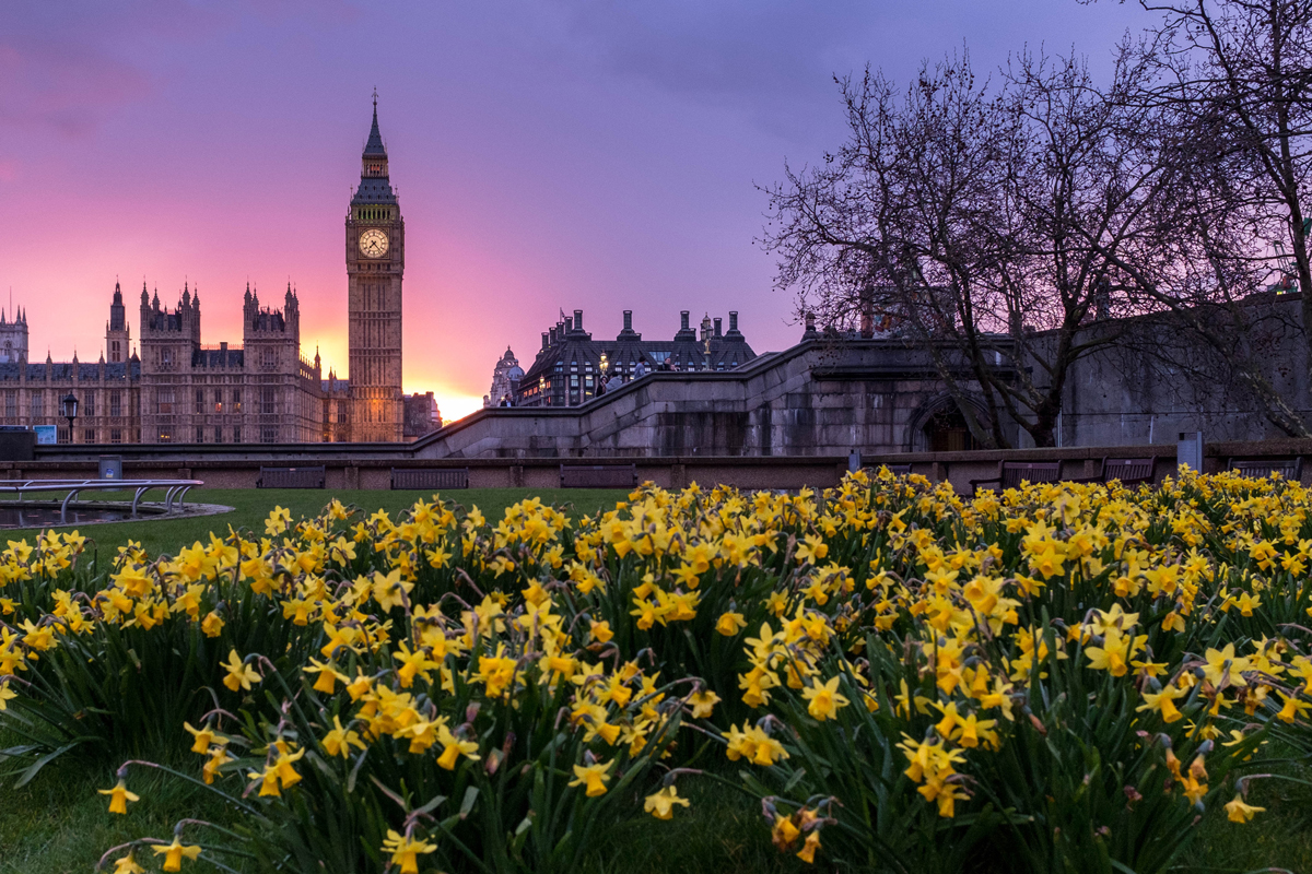 Many daffodils on a grass area with Big Ben and the Houses of Parliament in the background at sunset